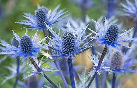 Photograph of blue thistles