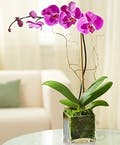 Luxurious Purple Phalaenopsis Orchid