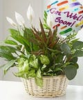 Living Plant Garden with Get Well Soon Mylar Balloon