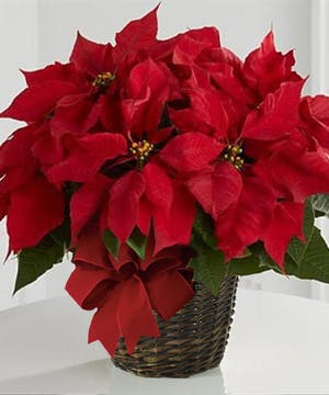 Christmas Red Poinsettia, Carithers Flowers Atlanta GA