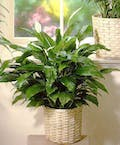 Blooming 'Peace Lily' Plant