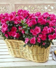 Funeral Azalea Plant Basket, Delivery Today