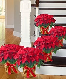 Christmas Poinsettias Atlanta GA