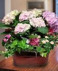 Blooming Hydrangea Garden