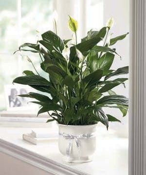 Sympathy Flowers and Plants, Peace Lily Comfort Planter by Carithers Flowers Atlanta