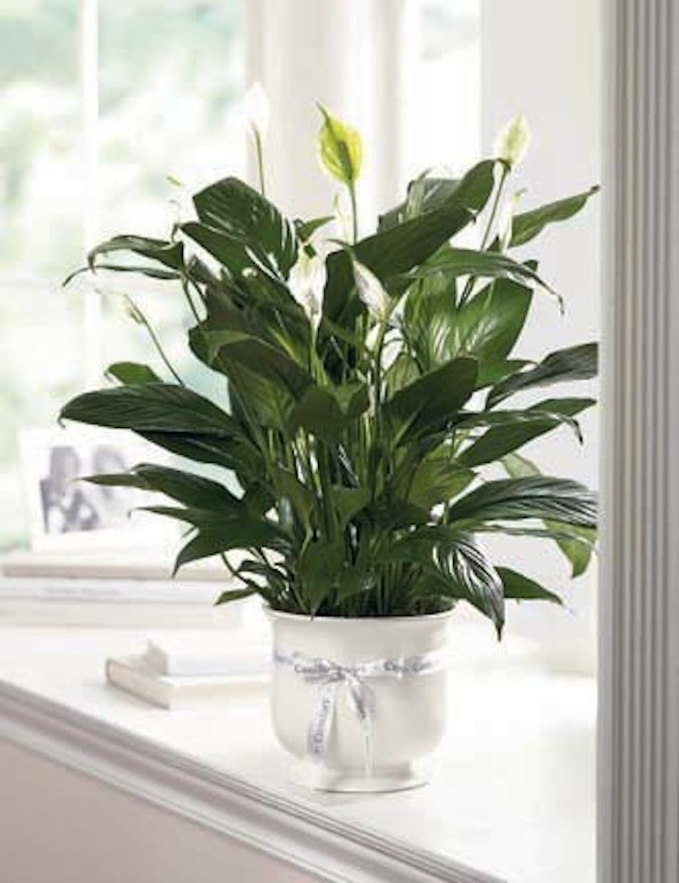 Sympathy Flowers And Plants Peace Lily Comfort Planter By