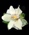 White Cymbidium Corsage with Wristlet
