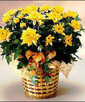 Blooming Autumn Yellow Mum Plant