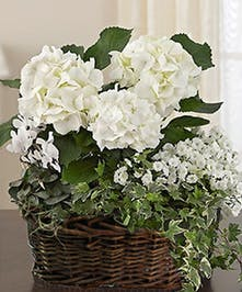 Flowering White Hydrangea Garden, Same Day Delivery Atlanta