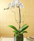 Luxurious White Phalaenopsis Orchid