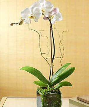 Same-day Orchid Delivery, Atlanta, Alpharetta, Buckhead, Decatur, Duluth, Dunwoody, Kennesaw, Lawrenceville, Marietta, Roswell, Sandy Springs, USA