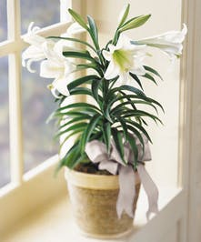 Easter Lilies for same day delivery