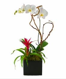 Exotic Phalaenopsis Orchid' & Flowering Bromeliad