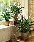 Peace Lily Spathiphyllum Plant