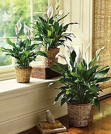 Peace Lily Plant, Same Day Delivery