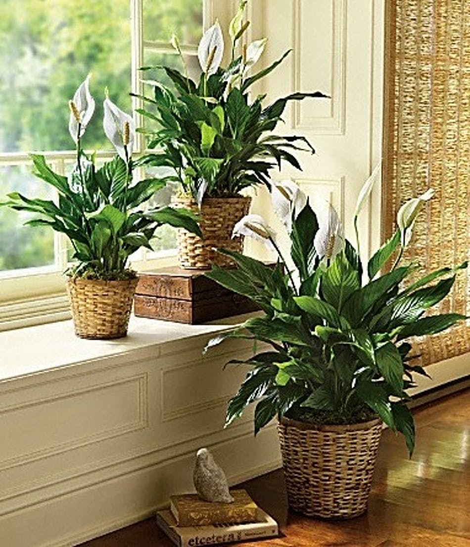 Blooming peace lily plant peace lily plant same day delivery izmirmasajfo