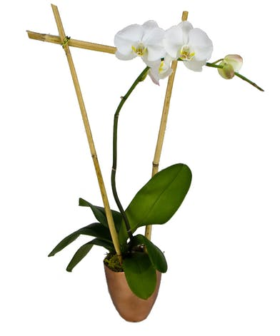 Orchid plant in copper container