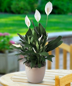 Flowering Plant - Easy Care