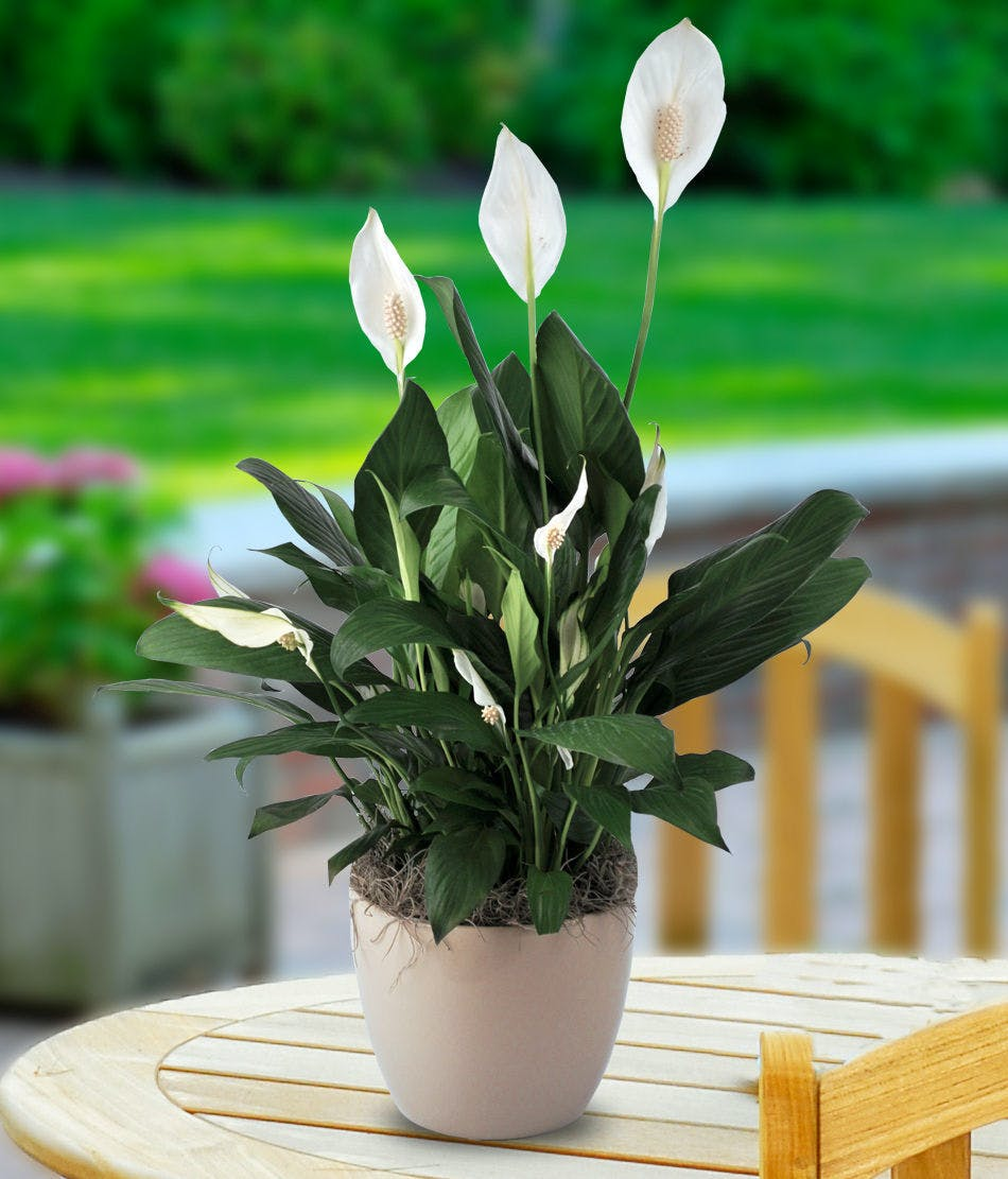 Peace Lily Planter Flowering Plants For Delivery Carithers
