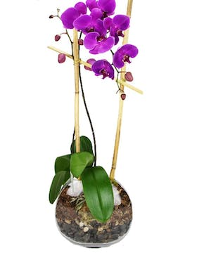 Exotic Orchid in Decor Moon Vase delivered by Carithers Flowers