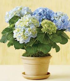 Blue Flowering Hydrangea
