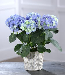 Blue Hydrangea in Decor Container