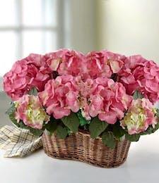 Double Hydrangea Plant Garden - Pink