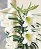 Double Stalk w/ 8-10 Blooms