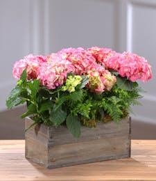 Flowering Hydrangea Garden - Pink