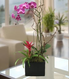 Exotic Phalaenopsis Orchid w/ Bromeliad in Decor Container
