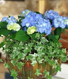 Deluxe Hydrangea Garden- Blue