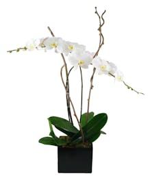 Double White Phaleonopsis Orchid Garden