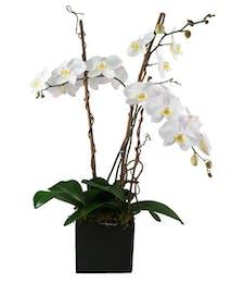 Triple White Phaleonopsis Orchid Garden