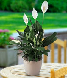 Flowering Peace Lily Planter