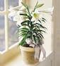 Single stalk w/ 3-4 blooms